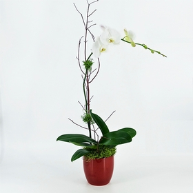 Orchid Cradle